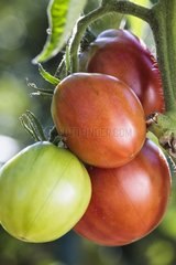 Tomatoes 'Black Pearl' in a kitchen garden