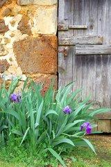 Iris in bloom in front of an old barn door