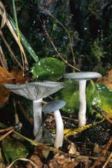 Aniseed funnel caps in undergrowth