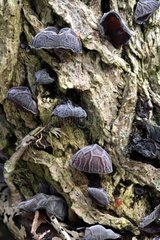 Judas ear fungus on an elder trunk