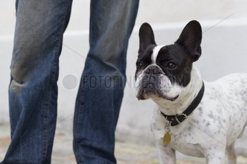French bulldog with his master in town - France