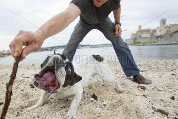 French bulldog playing with his master on a beach - France