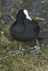 Coot on the bank of Meudon Pond France