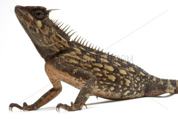 Armoured Spiny Lizard in studio on white background