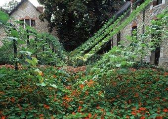 Nasturtiums 'Whirlbird' in bloom in a garden