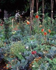 Dahlias in bloom in a garden