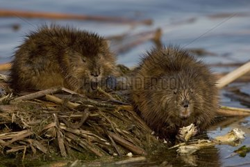 Muskrats at the edge of water New York State USA