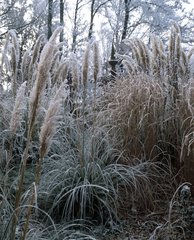 Uruguayan pampas grass and miscanthus in a garden in winter