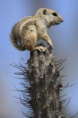 Harris's Antelope Squirrel on a cactus Mexico