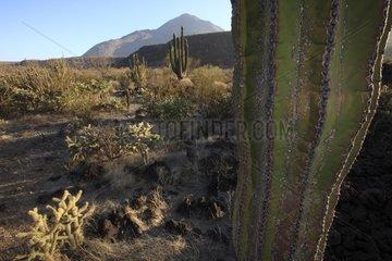 Cardon cactus in the desert of Vizcaino in Mexico