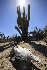 Horse Skull in the Vizcaino Desert in Mexico