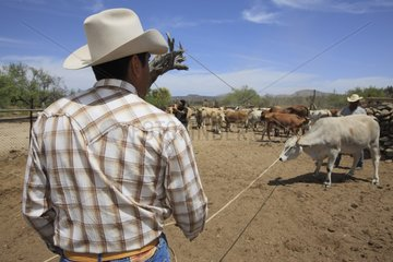 Vacheros catching animals for vaccination Mexico