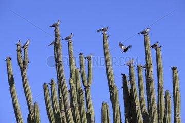 White winged dove on Organpipe cactus Mexico