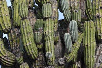 Cardon Cactus in the Vizcaino Desert in Mexico