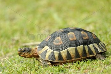 Angulate Tortoise in the grass - South Africa