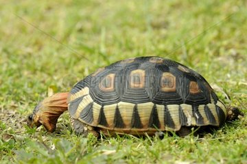 Angulate Tortoise eating in the grass - South Africa