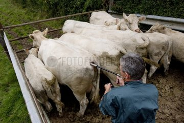 Vaccination of cows against bluetongue France