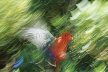 Australian king parrot flying Lamington NP Australia