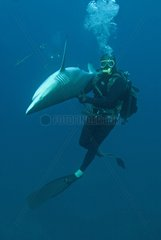 Scuba Diver and Blacktip Shark in state of tonic immobility
