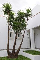 Succulent plant in a patio in Crete