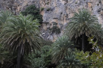 Palm trees in the gorges in Crete