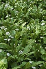 Ramsons flowers Bois de Cise Picardy France