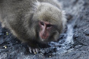 Japanese macaque eating salt in a puddle Japan