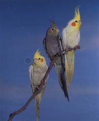 Group of Cockatiels