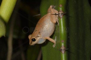 Lesser Antillean whistling frog singing in Guyana