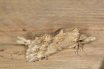 Pale prominent at spring Belgium