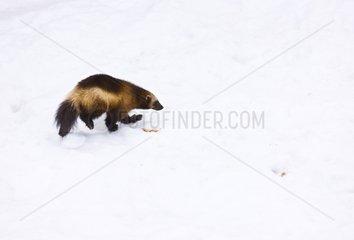 Wolverine walking in the snow Scandinavia