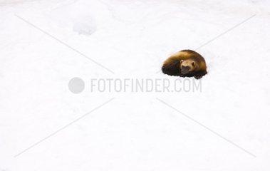 Wolverine lying in the snow Scandinavia