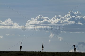Silhouetted Giraffe in the Masai Mara NR Kenya