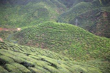 Tea Plantation in terrace Cameron Highland Malaysia