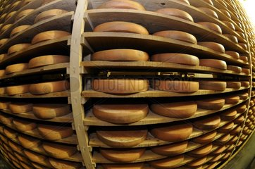 Wheels of cheese Morbier AOC in a ripening cave France
