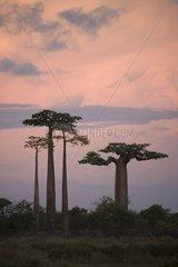 Baobab Alley at dawn Morondava Madagascar
