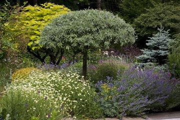 Pear tree 'Pendula' and mixed-border in a garden