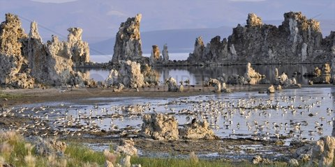 Wilson's Phalarope in migration on Mono Lake USA
