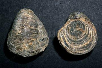 Liassic fossil mollusk found in Catalonia Spain