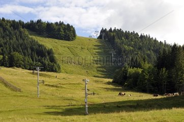 Montbeliard grazing on the skying and biking slope in summer