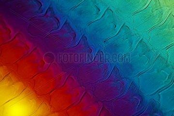 Radula of Burgundy Snail in polarized light