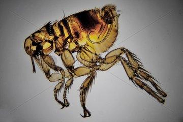 Flea Cediospylla simplex male parasite rabbit