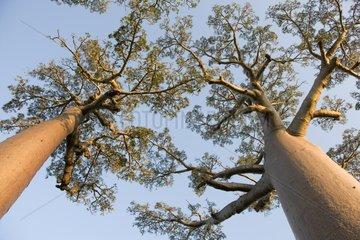 Baobab Alley Morondava Madagascar
