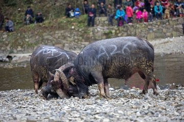 Buffalo fighting along the Bala River - Guizhou China