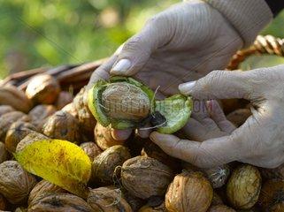 Someone detaching a nut Walnut 'La Franquette' from its husk