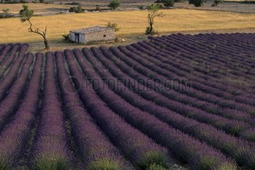 Shed and field of lavender on the Plateau de Sault France