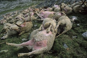 Sheep carcass after a storm blasted France