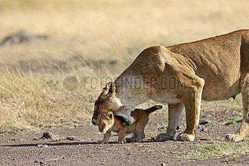 Lioness carrying her cub - Masai Mara Kenya