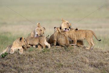 Lionesses and cubs in the bush - Masai Mara Kenya