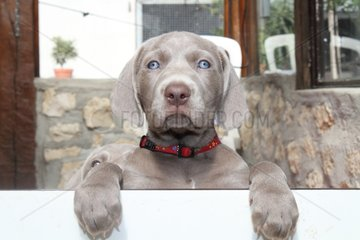 Portrait of a young Weimaraner France